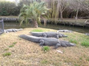 Very large alligators.