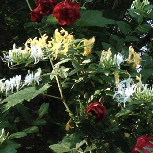 honeysuckle-rose.jpg