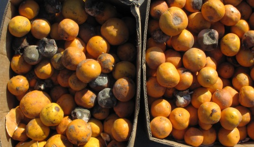 rotten2c_moldy_and_decaying_oranges
